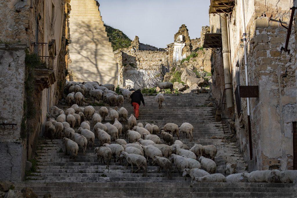 Pecore a Poggioreale