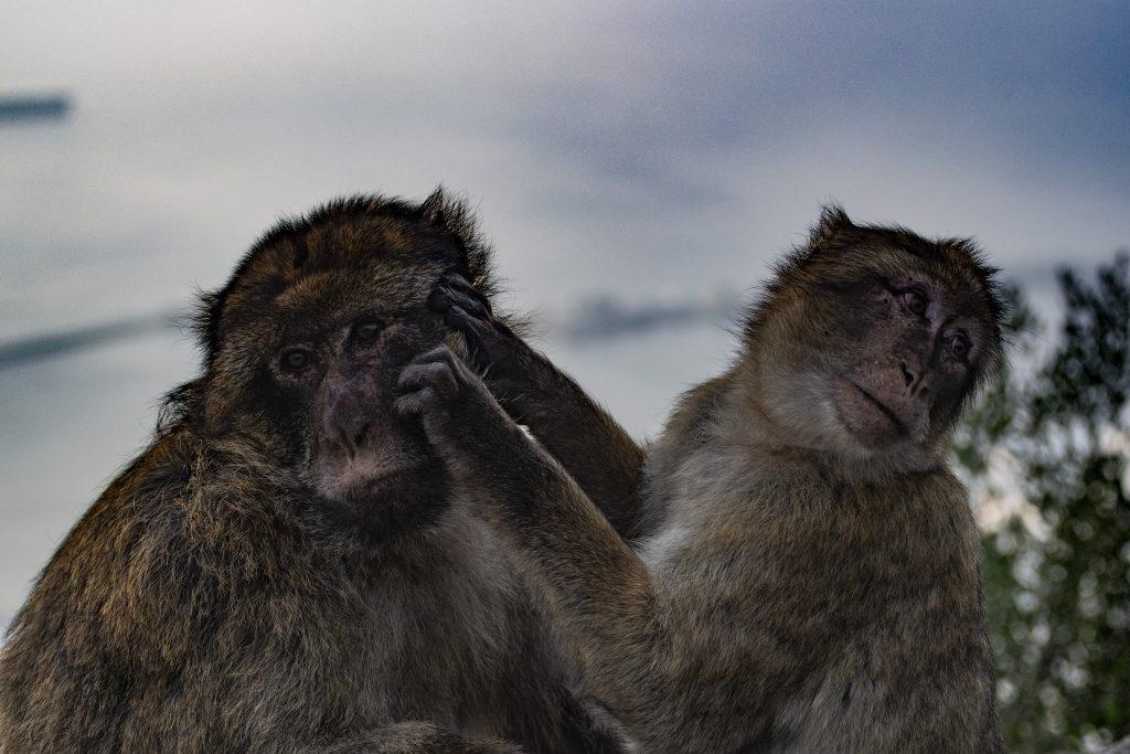 macaco Gibilterra porta dell'Atlantico