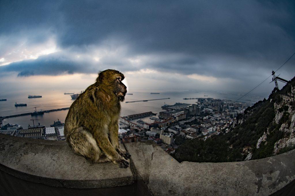 macaco_a_Gibilterra